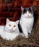 Zwei Hauskatzen liegen im Heu