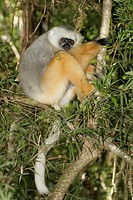 Diademed sifaka resting in tree