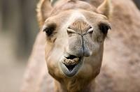 Dromedary camel, Taiwan, Taipei, Taipei Zoo