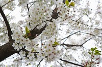 Zhejiang Province, Hangzhou, West Lake, Cherry Blossom, Flower