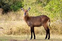 Rwanda, Akagera National Park, Defassa waterbuck Kobus ellipsiprymnus defassa