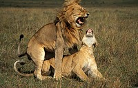 Lions mating, panthera leo, Maasai Mara National Reserve, Kenya