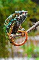 Madagaskar _ Panther Chamaeleon