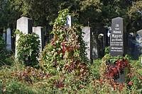 HV758940 Pflanzen wachsen über Grabsteine auf dem jüdischen Teil des Zentralfriedhofs in Wien