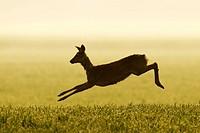 Jumping Roe deer, Capreolus capreolus, Germany