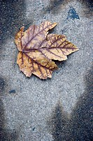 solitary leave naturally framed by sidewalk stains