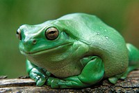 Tropical Frog.Great detail and lavish green colour.Head shot.Big Mouth!. Agent 109 EwingIts not easy being green