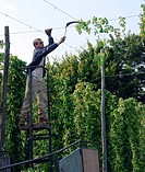 Hop harvest. Farmer cutting down bines during the hop Humulus lupulus harvest. Photographed in Kent, in September.
