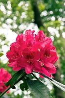 Rhododendron Nova Zembla Garden Origin
