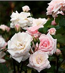 Tea Rose Rosa ´Catherine Mermet´.