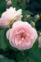 Rose Sweet Juliet. Old Fashioned Rose by David Austin. Two flowers with buds