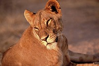 Samburu Nationalreservat, Loewin, Portraet