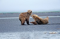 Junge Braunbaeren toben, young brown bears scuffling, Ursus arctos