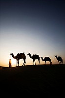 Four camels standing in a row with a man in a desert, Jaisalmer, Rajasthan, India