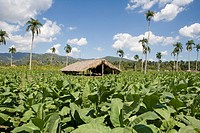 Dominican Republic _ Centre _ The Cibao Valley _ Tobacco Plantation