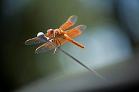dragonflies, insects, wings