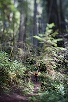 Man Hiking through the Redwood Forest