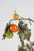 Tomatoes growing on plant