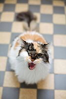 Cat snarling at camera