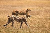 Two cheetahs prowling