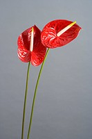 Two Red Anthuriums Anthurium andreanum