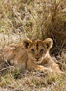A lion cub lying in grass