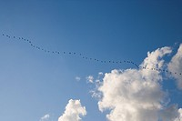 A flock of birds flying in a line