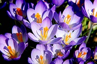 A cluster of crocuses catch the morning light