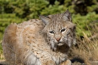 Adult Bobcat sits on a rocky ledge during the heat of summer, Animals, Bobbed Tails, Bobcats, Canadian, Carnivora, Carnivores, Cats, Creatures, Cute, ...