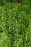 Horse tail, plant, green, feathery, spring, swampy, swamp, nature, Botany