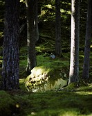 Moss mounds around trees in a forest Sweden.