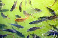 Fishes swimming in a pond