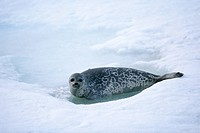 Ringed seal Svalbard Norway.