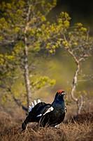 Black grouse on a bog Sweden.