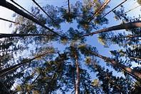 Tree trunks upward view