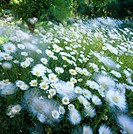 Ox_eye daisies on a meadow