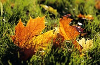 Dry leaves fallen on grass