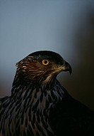 Goshawk close_up