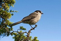 Gray jay on a tree branch