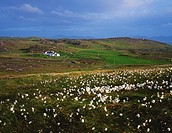 Inishowen Peninsula, Co Donegal, Ireland, Bog Cotton with a cottage in the distance