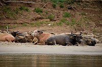 Luang Prabang,Laos,Water Buffalo along the Mekong River
