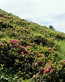 rusty_leaved alpenrose / Rhododendron ferrugineum