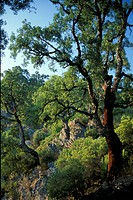 Cork oaks, Alesani, Corsica, France