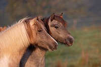 two Icelandic horses _ portrait
