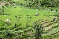View at rice fields, rice terraces and small huts, Bali, Indonesia