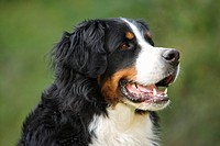 Bernese Mountain dog _ portrait