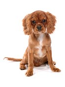 Cavalier King Charles Spaniel dog _ puppy sitting _ cut out