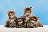 Maine Coon cat _ four kittens