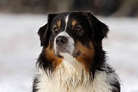 Australian Shepherd dog _ portrait