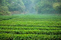Asia, China, Fujian, UNESCO, World Cultural Heritage, World Natural Heritage, Wuyi Mountain, Tea garden